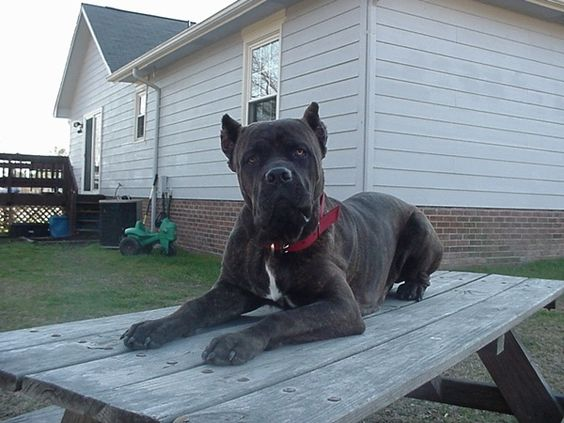 Cane Corso – Why it can be one of the best pets
