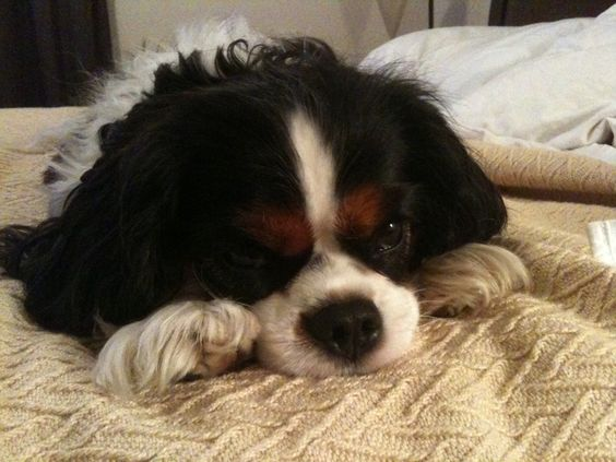 Cavalier King Charles Spaniel: Our spoiled Sydney/Squirt/Snorts