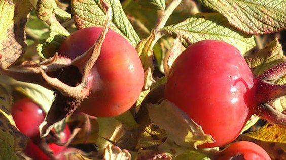 Nypon Rose hip wine a´la Karlsson | Roses and rose hips | Pinterest ...