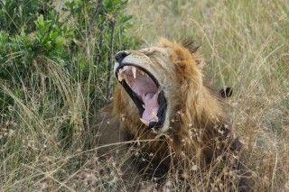 Großmaul in Kenyas Masai Mara Nationalpark