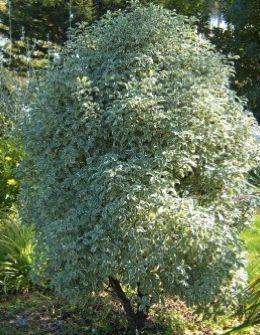 Pittosporum tenufolium - Kohuhu Tree - driveway