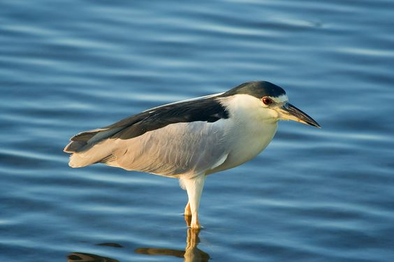 Black Crowned Night Heron photographed at Laguna Madre Nature Trail on South Pad...