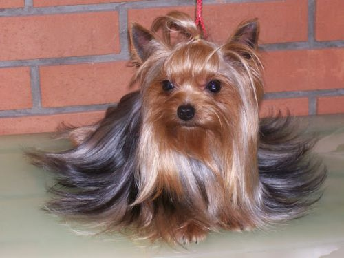 yorkie adult adult yorkshire terrier prepared and groomed for a show 1854