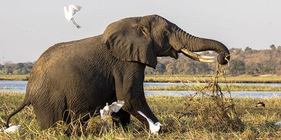 Petition: Urge Zimbabwe to Ban Live Export of the Country's Elephants http://www.thepetitionsite.com/710/684/839/urge-zimbabwe-to-ban-live-export-of-the-countrys-elephants/?z00m=25199874