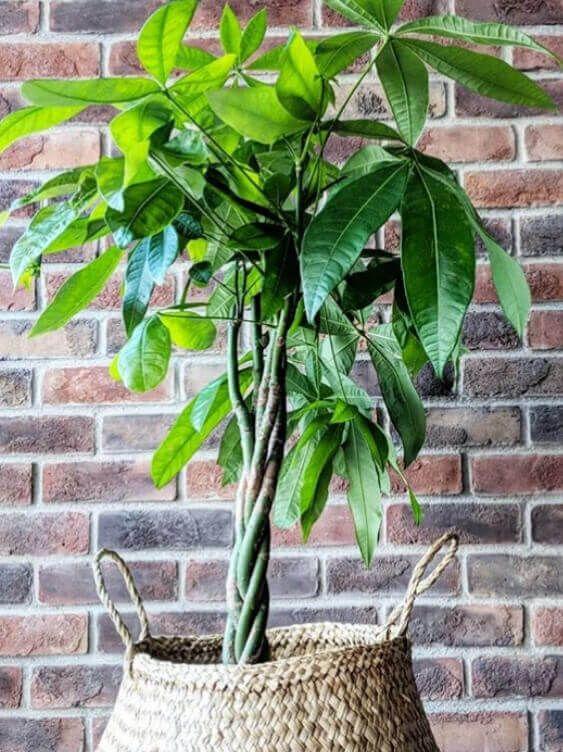 How To Braid Your Money Tree Plant Money Tree Plant Money Tree Plant Care Trees To Plant
