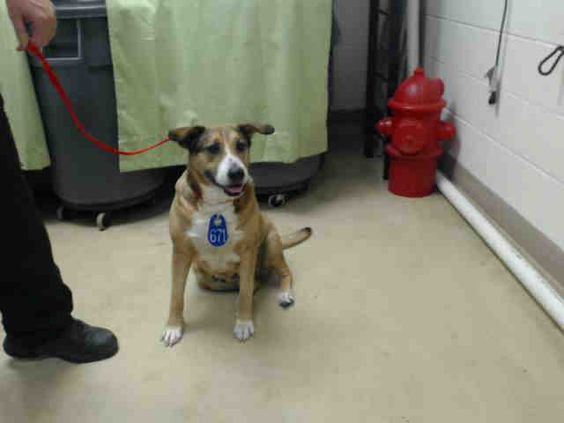 04/17/15-HOUSTON-SWEETHEART - ID#A430352  My name is SWEETHEART.  I am a female, tan and black German Shepherd Dog mix.  The shelter staff think I am about 8 years old.  I have been at the shelter since Apr 17, 2015.