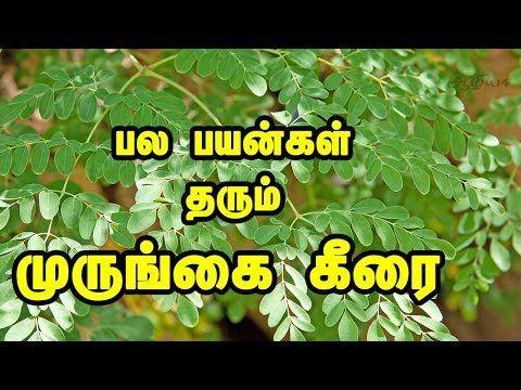 Drumstick Leaves In Tamil Moringa Leaves Youtube Moringa Leaves Moringa Drumstick Leaves Benefits