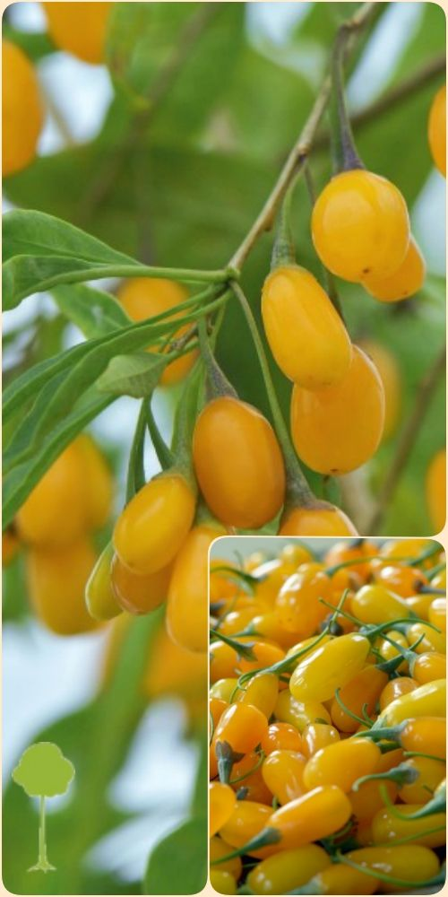 Yellow Fruit Goji Berry Container Young Plant 1 2 Years