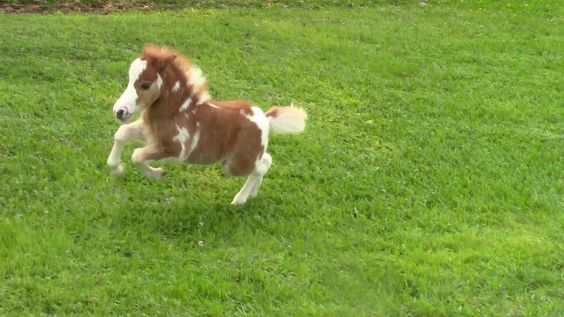 """SOLD"""" Miniature horse for sale - Dent Lucky Splasher - 2015 Foal ..."""