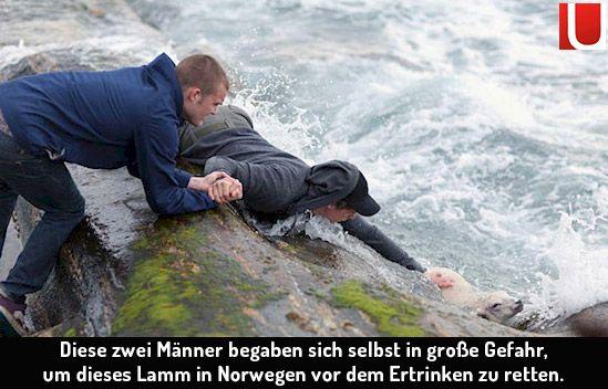 Höre einmal tief in dich hinein und sei ehrlich zu dir selbst: Würdest du einfach wegsehen, wenn eine Lebewesen vor dir in Lebensgefahr gerät? Diese Jungs aus Norwegen riskieren deren Leben, um einem Lamm aus dem Wasser zu ziehen. Einfach unglaublich. | unfassbar.es