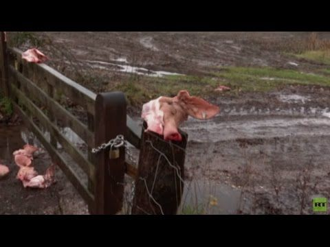 Dutch welcome  Pig heads left at migrants' camp entrance in Netherlands