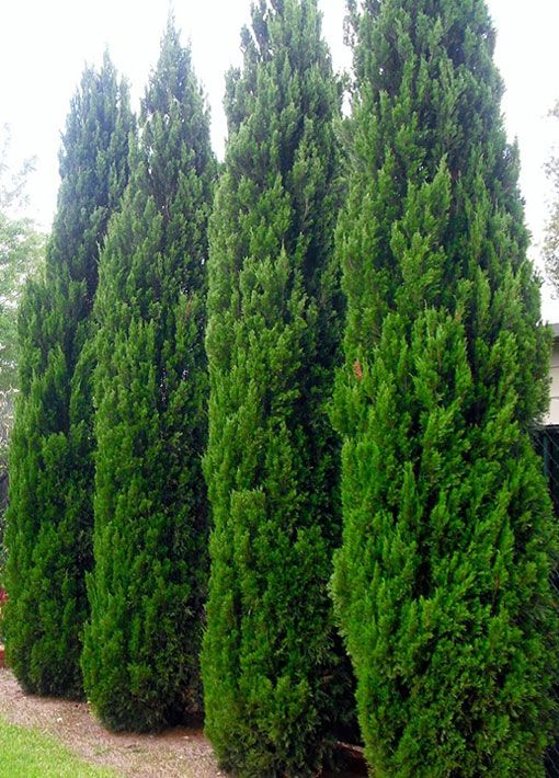 Spartan Juniper Tree Landscaping Shrubs Lake Landscaping Pool Landscaping