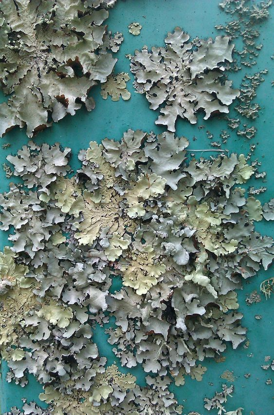 Lichen on paint - beautiful blue/green colour tones, surface pattern and texture; organic inspirations for design
