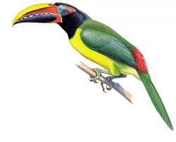 Green Araçari (Pteroglossus viridis)