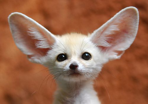 Fennec Fox by fennecfox.biz: The smallest of the canids, weighing about 1.2kg), lives in the Sahara Desert of North Africa. It is characterized by its large ears which are able both to detect sounds of prey as they move underground and to help dissipate heat. #Fennec_Fox