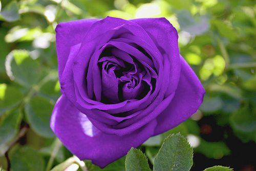 بنفسجي 2016 Photos Word 2016 Purple Roses Rose Pictures Beautiful Flowers