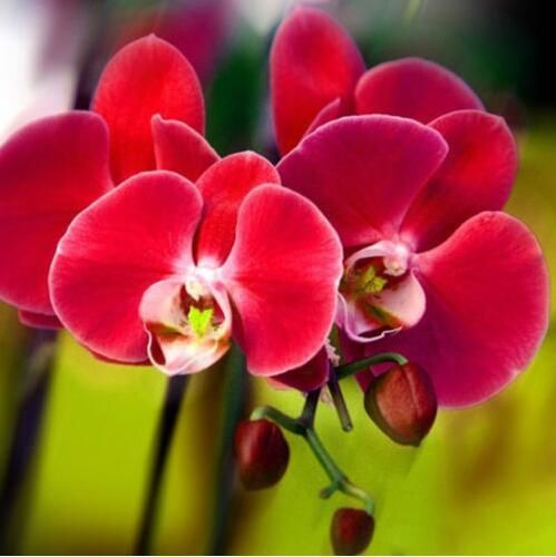 Phal Red Butterfly Orchids Orchids Orchid Seeds Flower Seeds Orchid Flower