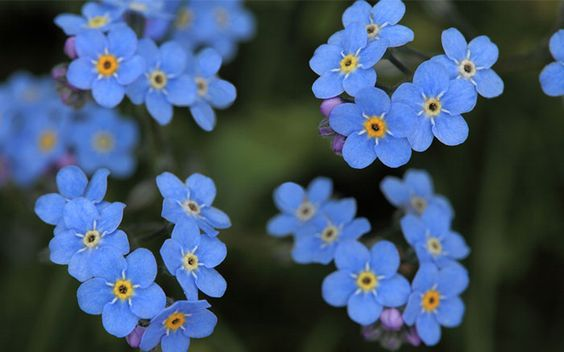 forget-me-not-flowers Blooms in spring. Covers like a carpet. Good for rocks and filling cracks in walkways. Low growth.