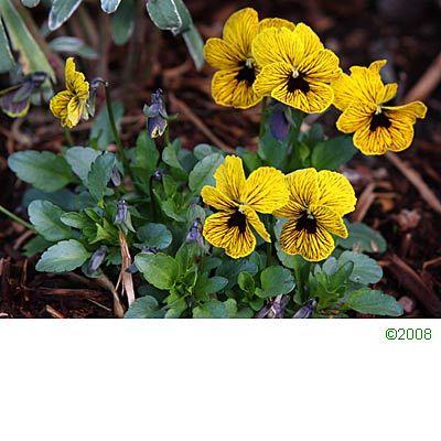 Edible flowers - Viola PANSY