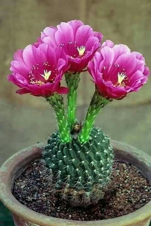 Hairy Cactus Species Flowersandflowerthings Flowering Succulents Cactus House Plants Cactus Flower