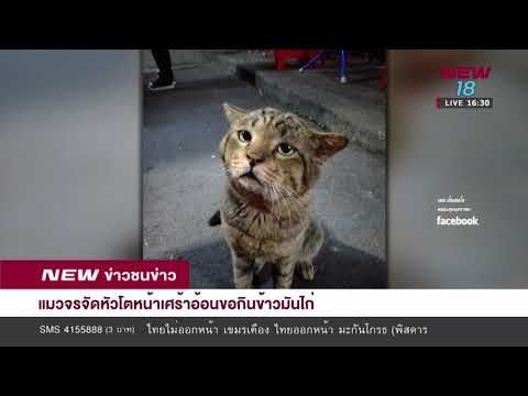 แมวจรจ ดห วโตหน าเศร าอ อนขอก นข าวม นไก Youtube