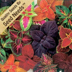 """Good for growing in shade 250 Seeds, Coleus """"Rainbow Mixture"""" Seeds By Seed Needs"""