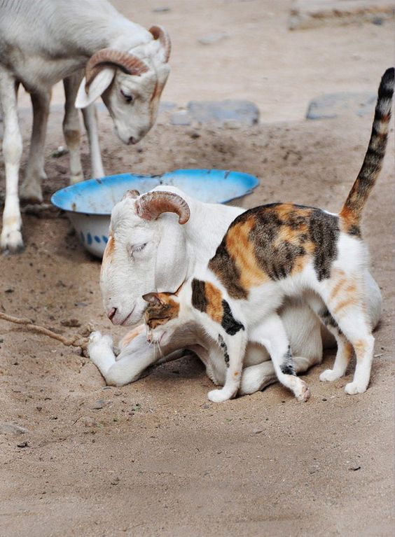 Why can't we just get along?!?  I mean, if a goat and a cat can make it work...