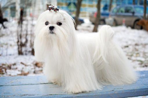 Los malteses son unos perritos chiquitos y adorables que nos acompañan hace miles de años.