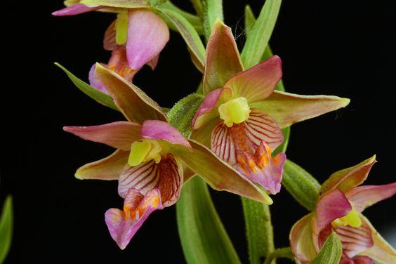 Orchid-Hybrid: Resultado Passionata'- Epipactis 'de um cruzamento entre Epipactis palustris var. ochroleuca e Epipactis royleana - Flickr - Compartilhamento de fotos!