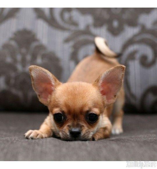 Potty Training Chihuahua Consistency Is Key Chihuahua Puppies