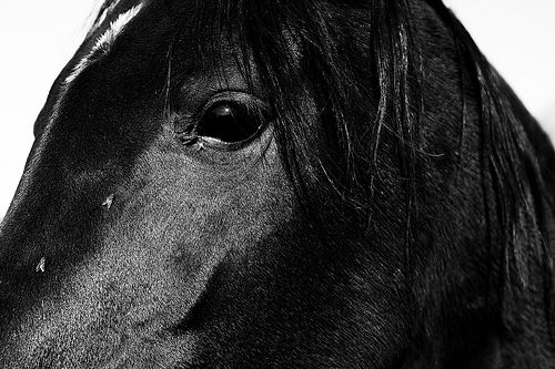 Flies on a horse's face black and white