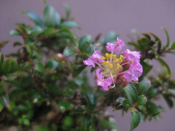 盆栽:懸崖杜松を軽くする の画像|春嘉の盆栽工房