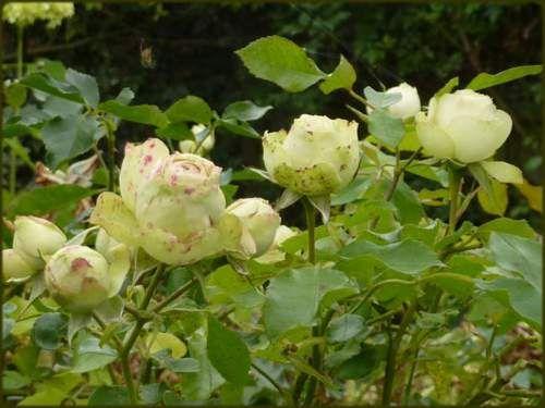 rose vert vert and roses on pinterest. Black Bedroom Furniture Sets. Home Design Ideas