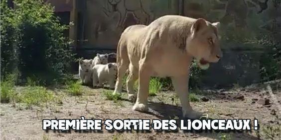 Zoo Amnéville : Première sortie des lionceaux - http://www.le-lorrain.fr/blog/2016/06/09/zoo-amneville-premiere-sortie-lionceaux/