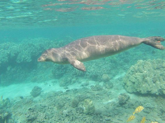 A Hawaiian Monk Seal cruising in the shallow reef it's always special when we get to see these guys  They are the only type of seal we have here in Hawaii and highly endangered.