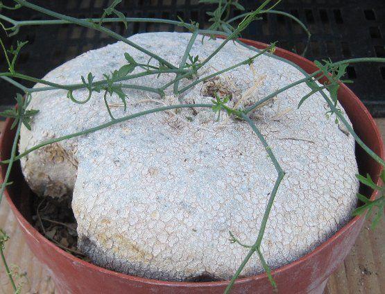 sedum cactus