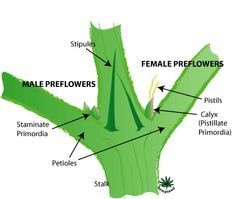 grow-marijuana-outdoors-preflowers