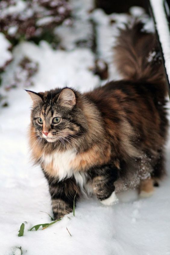 Norwegian Forest Cat - Closely related to the Siberian cat, the Norwegian Forest cat shares many of its characteristics. It is said that these cats where introduced by Vikings around 1000 AD. Like the Viking warrior, this cat is big. Chihuahuas better step aside when this gentle giant comes around.