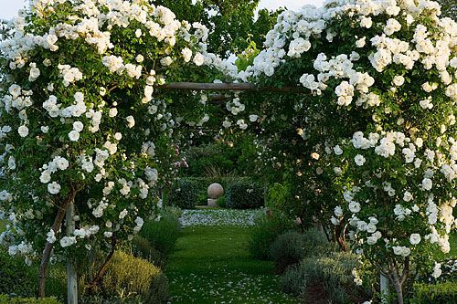 Provence, Dominique Lafourcade. Rose  pergola with rosa 'iceberg'
