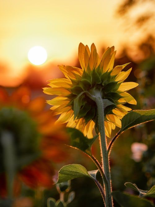 Didyouknow Sunflowers Have Helotropic Characteristics Meaning They Move To Face The Sun True Flower Sunflower Pictures Sunflower Photography Sunflower Photo