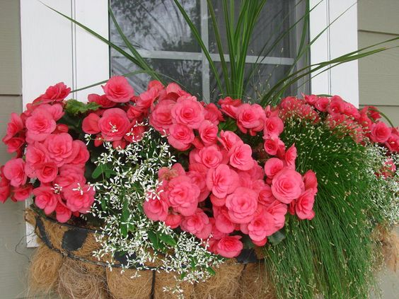 begonia window box ideas