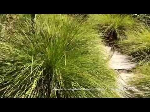 Lomandra Longifolia Breeze Tanika Dwarf Mat Rush Tough Drought Tol Clay Tol Youtube With Images Lomandra Perennial Grasses Front Garden