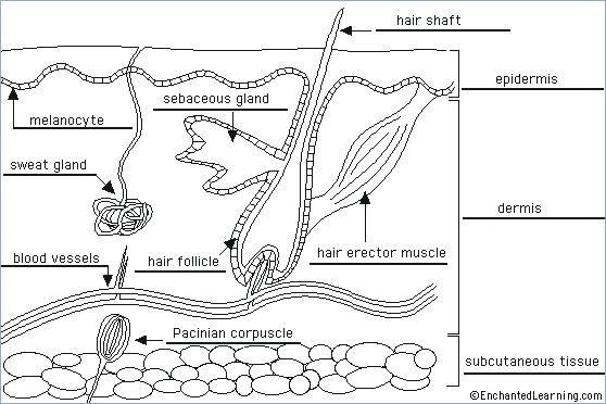 Skin Diagram Coloring And Labeling Worksheet Us Hair Printable
