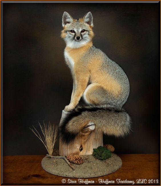 Grey Fox Taxidermy Sitting Habitat Mount Outdoor Life