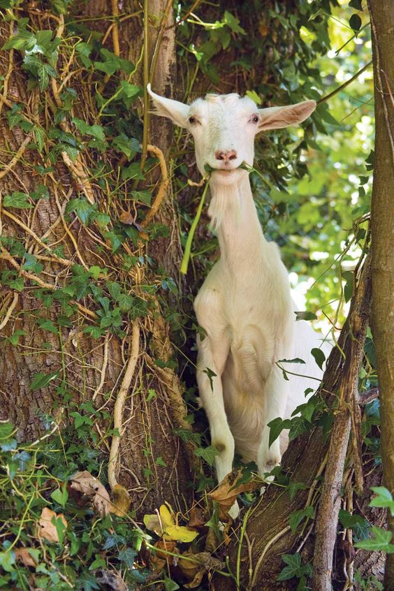 JANET HORTON Goats eat all kinds of weeds and brush. From MOTHER EARTH NEWS magazine.: