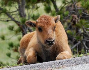 First Baby Bison Calf Born on Tribal Lands on Earth Day