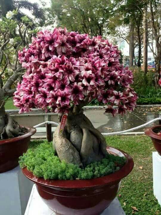 Plumeria Bonsai : plumeria, bonsai, Mohammad, DESERTO(ADENIUM, OBESUM)., Desert, Plant,, Flowering, Bonsai, Tree,, Plumeria