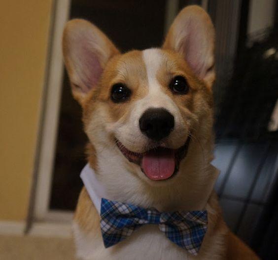 Meet Corgnelius the cutest corgi on the internet, Corgnelius, cute corgi pictures, dog photos