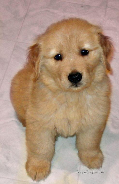 Cutie Pie Golden Retriever Augustus In 2006 7 Weeks Old