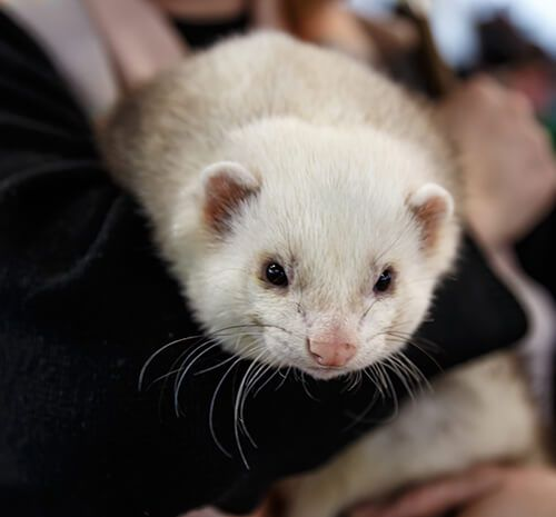 What You Need To Know About Ferret Adoption Ferret World Ferret Adoption Ferrets Care Reptiles Pet